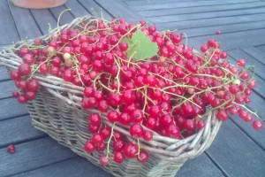 Beautiful berries from my garden