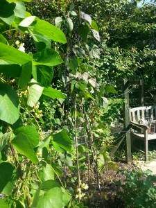 'White Lady' runner beans looking good in my late summer potager